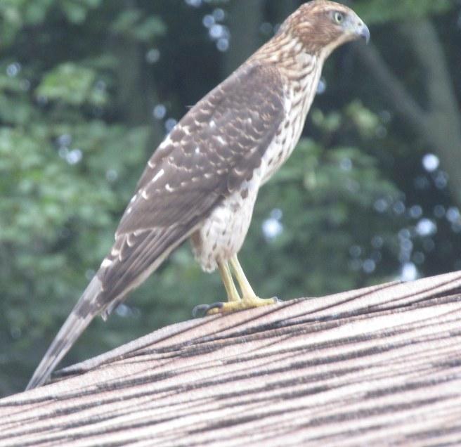 budgie hawk
